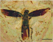 Santanmantis-axelrodi-Grimaldi-2003-SMNS-66677.png