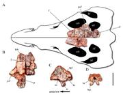 800px-Dynamosuchus skull supplemental.png