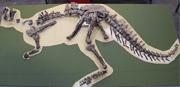Eoabelisaurus fossil skeleton.png