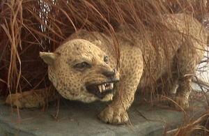 Занзибарский леопард 2.jpg