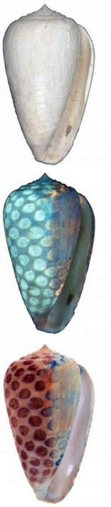 Conus carlottae
