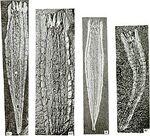 275px-Takakkawia lineata fossils.jpg