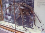 Camptosaurus fssil.jpg