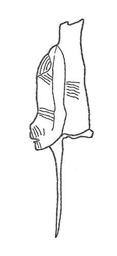 Dicranograptus spinifer 2-2.jpg