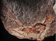 Epidexipteryx fossil.jpg