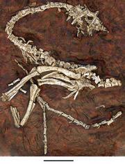 Eodromaeus fossil skeleton.png