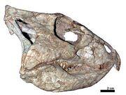 Archaeoceratops skull.jpg