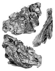 Тетрацератопс череп.jpg