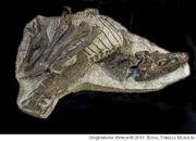 Gorgosaurus skeleton.jpg