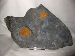 Nankinolithus 2