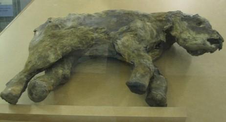 Ямальский мамонтёнок
