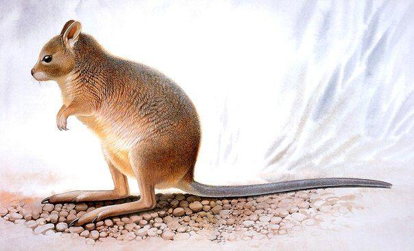 Гологрудый кенгуру