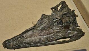 Diandongosuchus fuyuanensis 334 (1).jpg