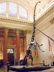 Barosaurus cast.jpg