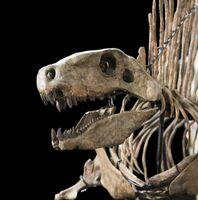Dimetrodon milleri 2