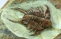Foulonia-trilobite
