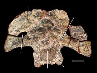 800px-Azendohsaurus madagaskarensis braincase.png