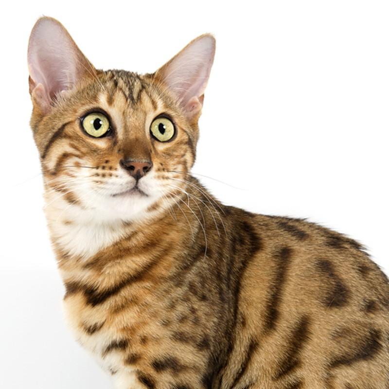 Бристольская кошка