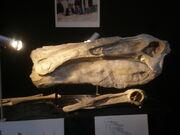 Deinocheirus skull 01.jpg