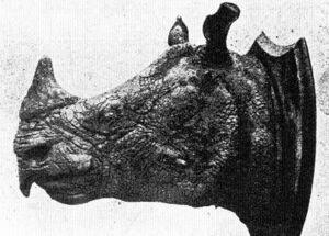 Вьетнамский яванский носорог голова
