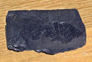 Dendrograptidae - Dictyonema retiforme