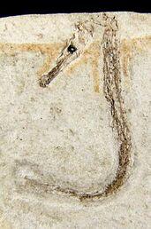 Hippocampus sarmaticus 2