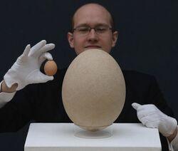 Яйцо эпиорниса.jpg