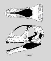 Jobaria skull.jpg
