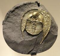 Declivolithus alfredi, Late Ordovician (Caradocian), Mecissi, Morocco - Houston Museum of Natural Science