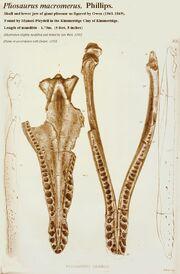 Pliosaurus macromerus skull.jpg