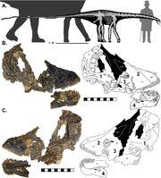 Skeletal reconstruction of CMC VP14128.jpg
