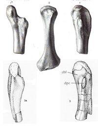 Actiosaurus 2.jpg