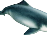 Китайский речной дельфин