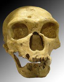 800px-Homo sapiens neanderthalensis.jpg