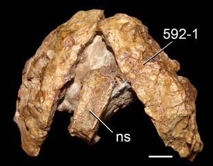 Archaeopelta vertebra and armor.png