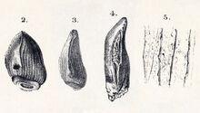 Cardiodon toth.jpg