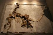 Camarasaurus-skeleton fossil.jpg