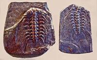 Selenopeltis buchi vultuosa