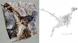 Jinfengopteryx skeleton