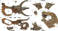 Nasutoceratops-cherep