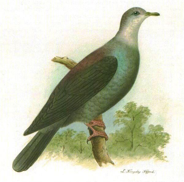 Бонинский голубь