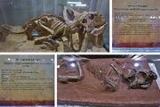Protoceratops fossil.jpg