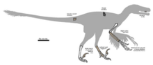 275px-Pyroraptor fossil 01.png