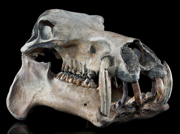 Мадагаскарский карликовый бегемот
