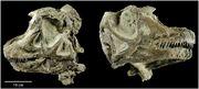 Abydosaurus skull 03.jpg