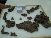 Eoraptor fossil.jpg