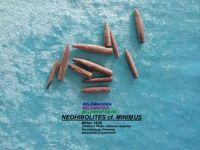 Neohibolites cf. minimus