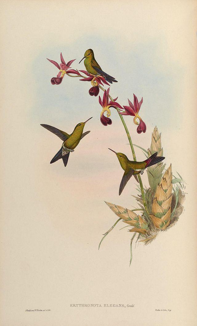 Изумрудный колибри Гульда