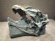 Abrosaurus skull.jpg