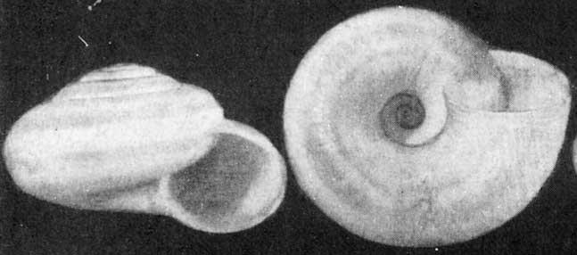 Helicopsis paulhessei